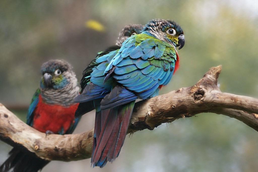 crimson-bellied parrot
